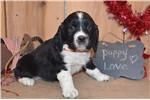 Picture of Chance Black/White Male English Springer Spaniel