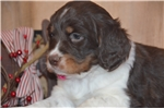 Picture of Lady - Liver Tri English Springer Spaniel F