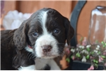 English Springer Spaniel for sale