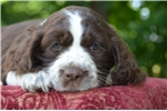 Picture of Nelson - Liver Male English Springer Spaniel Puppy