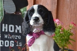 Picture of Mable Liver/White English Springer Spaniel