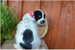 Picture of Lily - Gorgeous Black & White Female