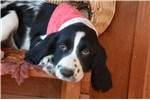 Picture of Maddie - Beautiful Black & White Female
