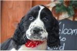 Picture of Duke Black/White English Springer Spaniel Male Pup