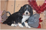 Picture of Chauncy Black Tri Male English Springer Spaniel