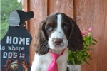 Picture of Marlow - Lliver/white English Springer Spaniel