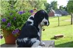 Picture of Pippa -Black Female English Springer Spaniel Puppy