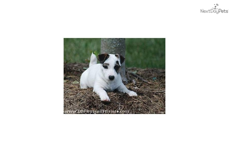 Jack Russell Terrier Puppies Dog Farrm B Virginia