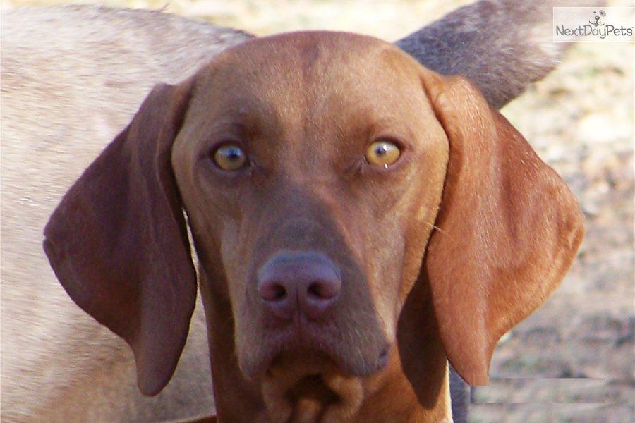 Vizsla Puppies For Sale Portland Oregon Pictures to pin on Pinterest Vizsla Oregon