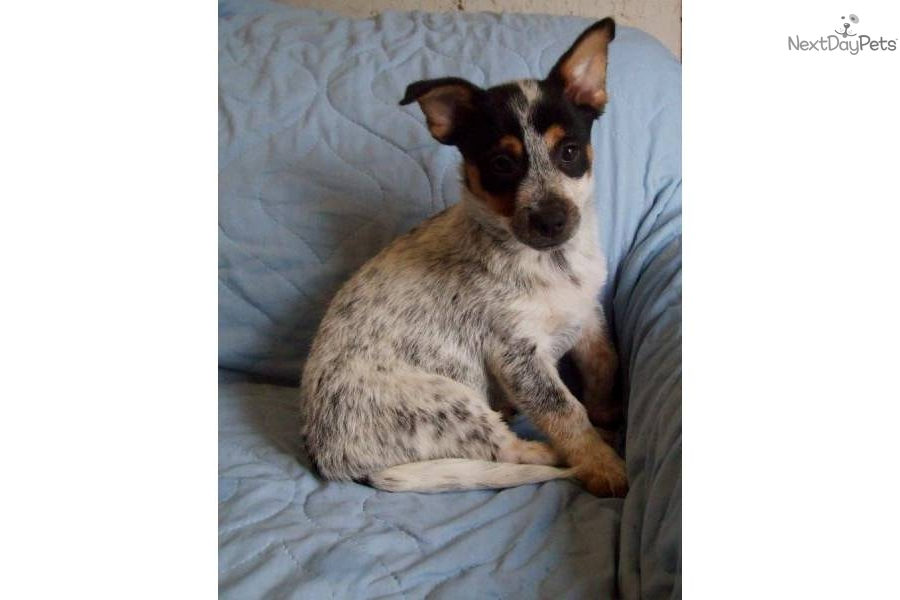 miniature Queensland blue Heeler male | Australian Cattle ...
