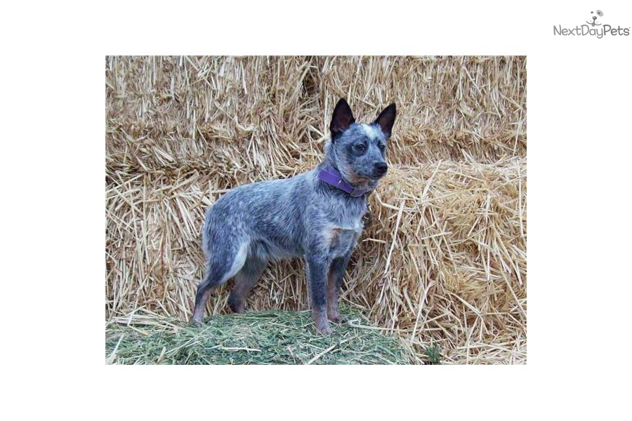 miniature-queensland-heeler-acddog-australian-cattle-dog-blue-heeler ...
