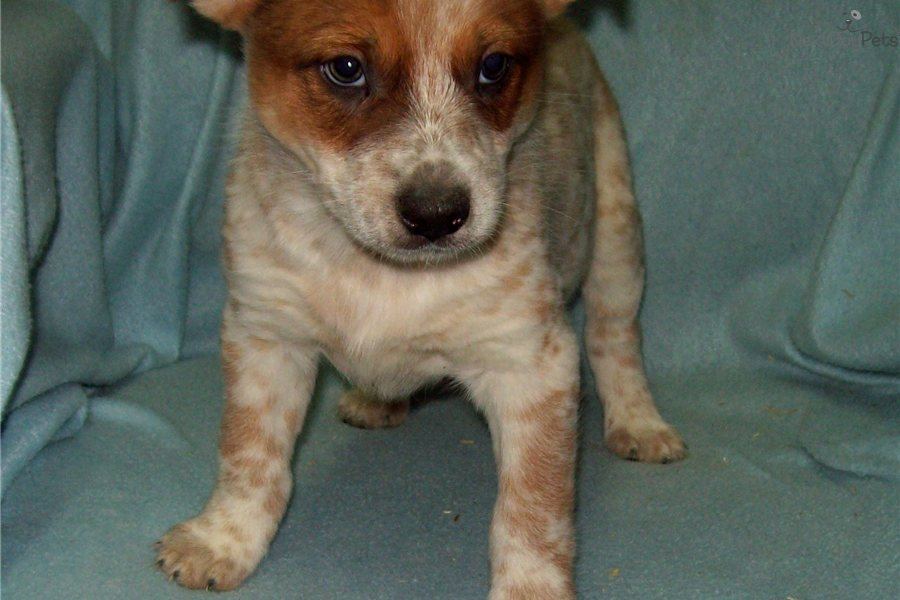 Red Heeler Blue Heeler Mix Red Heeler Catahoula Mix Puppy