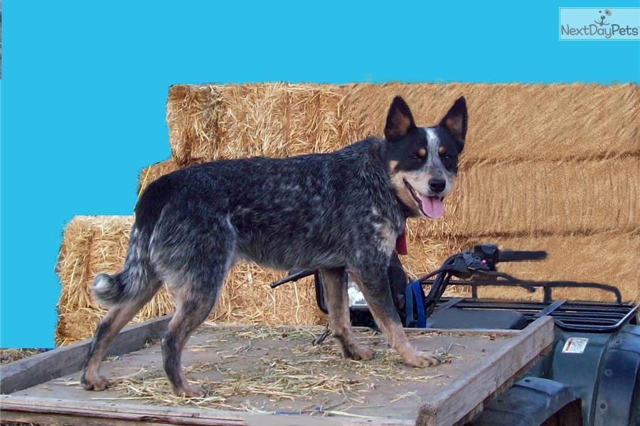 Meet Junipers blue male a cute Australian Cattle Dog/Blue ...