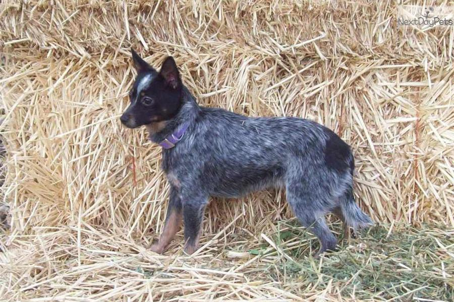 toy/ miniature Queensland Blue Heeler male