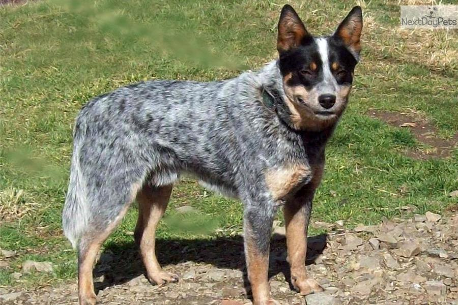 Australian cattle dog blue heeler puppy for sale near bend oregon