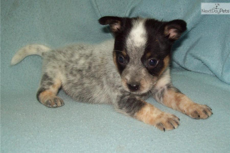 Miniature Blue Heeler Dog Australian Cattle Dog Blue Heeler Puppy ...