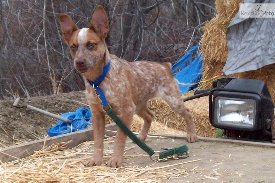 Australian Cattle Dog/Blue Heeler puppy for sale near Bend, Oregon ...