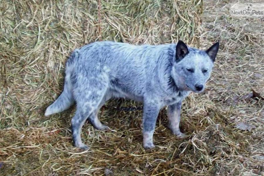 Australian Cattle Dog/Blue Heeler puppy for sale near Bend, Oregon ...