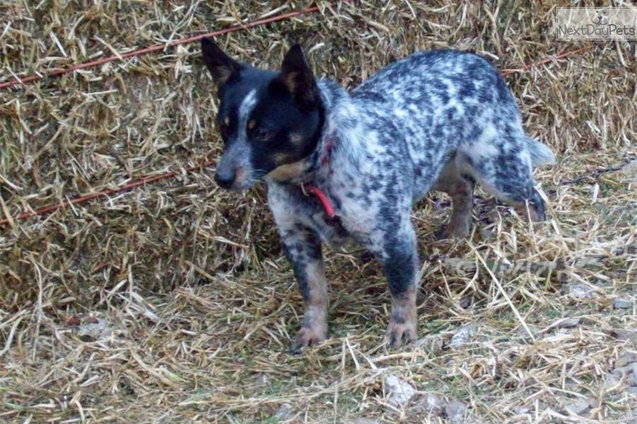 miniature queensland blue heeler male miniature queensland blue heeler ...