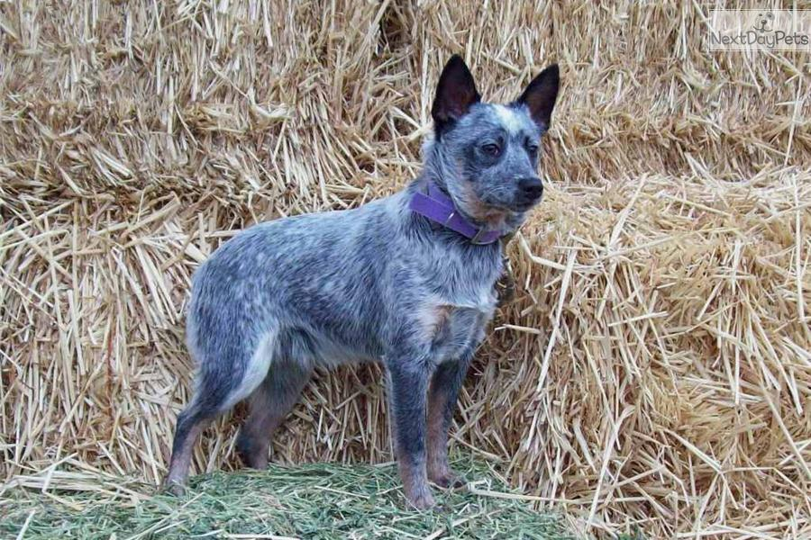 Australian Cattle Dog Blue Eyes