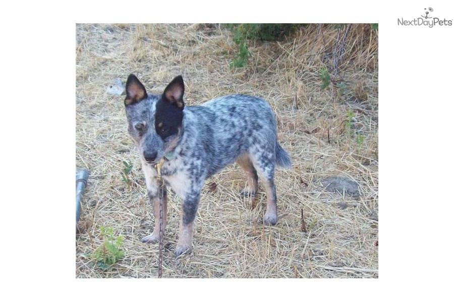 blue speckled female a cute Australian Cattle Dog/Blue Heeler puppy ...