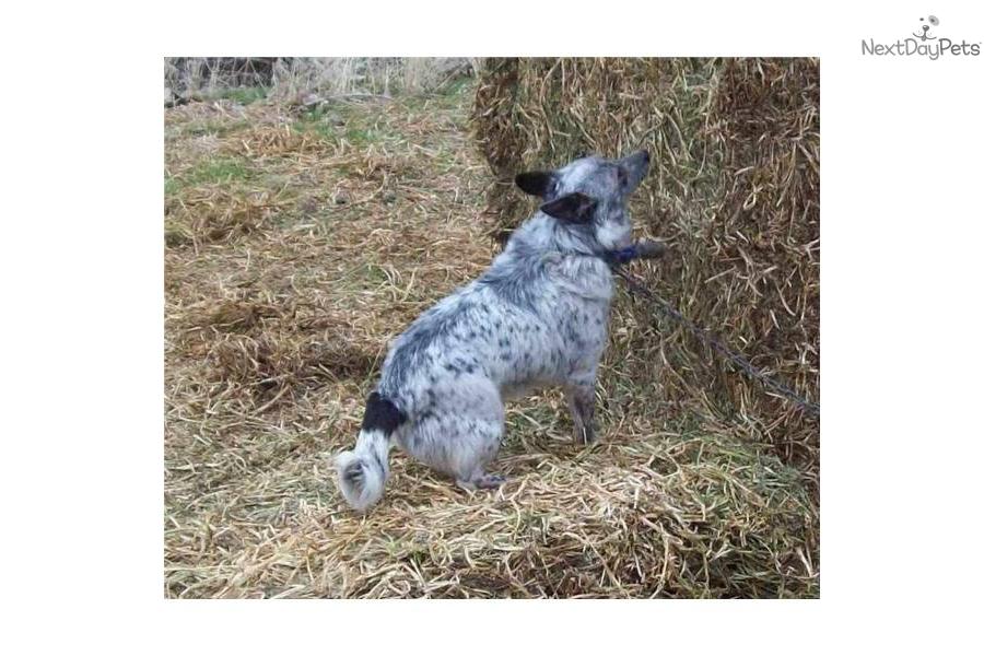 Miniature Blue Heeler Dog Australian Cattle Dog Blue Heeler Puppy ...