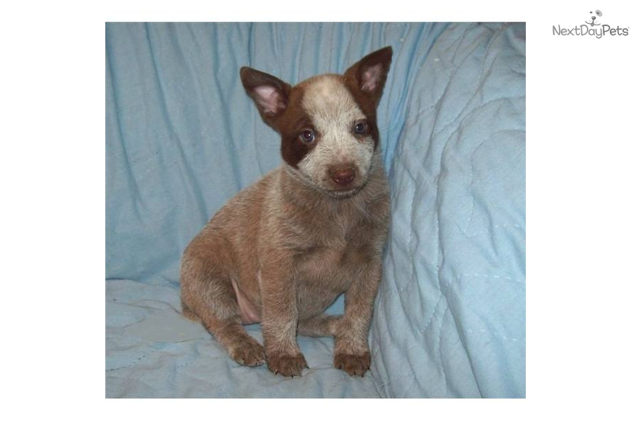 Australian Cattle Dog Blue Heeler Puppy For Sale Near Bend