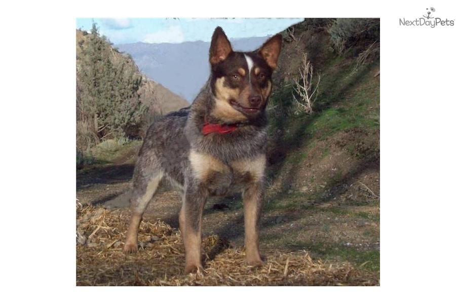 Australian Cattle Dog Blue Heeler Puppy For Sale Near Bend