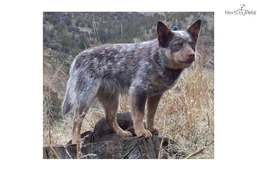 miniature-blue-heeler-australian-cattle-dogdog-australian-cattle-dog ...