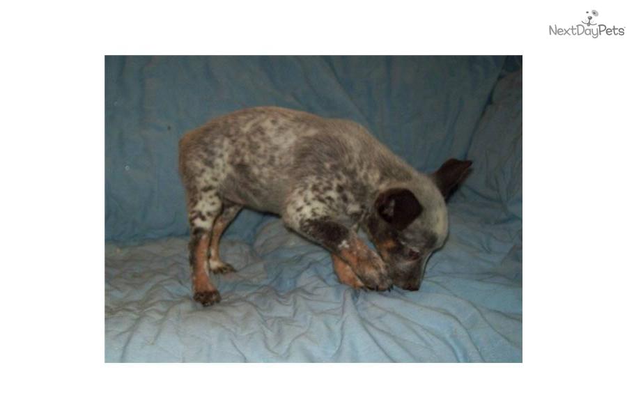 -queensland--heeler-femaledog-australian-cattle-dog-blue-heeler ...