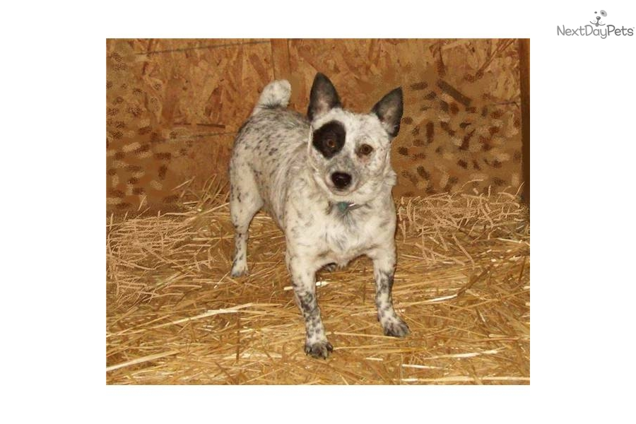 Queensland Heeler Mini | Dog Breeds Picture