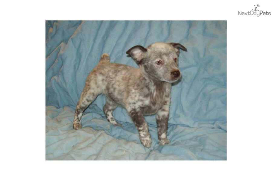 Miniature Queensland Heeler female