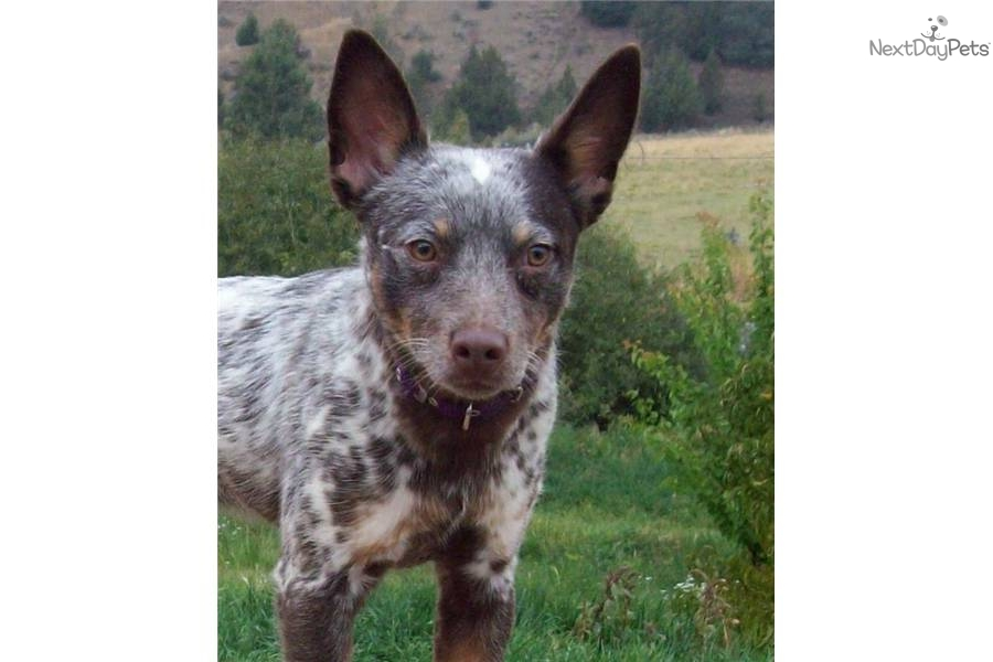 miniature-queensland--heeler-maledog-australian-cattle-dog-blue-heeler ...