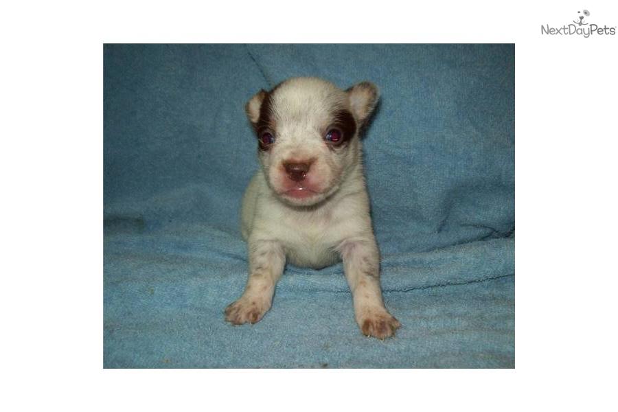 miniature queensland heeler maledog australian cattle dog blue heeler