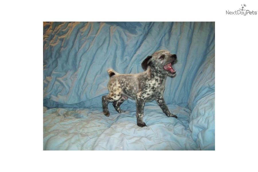 miniature-queensland--heeler-maledog-australian-cattle-dog-blue-heeler ...