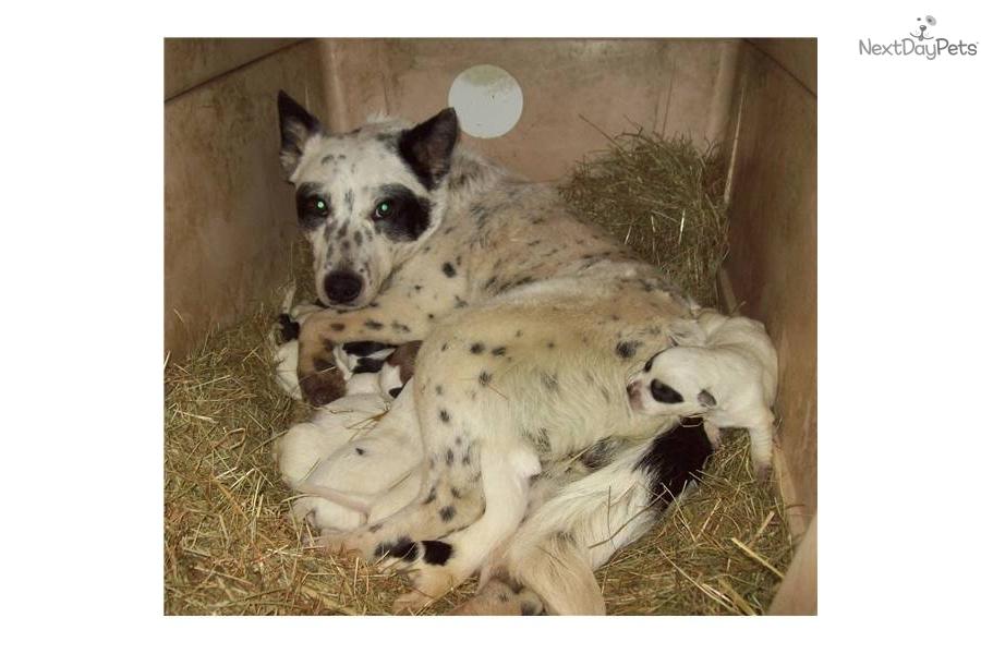 queensland-blue-heeler-australian-cattldog-australian-cattle-dog-blue ...