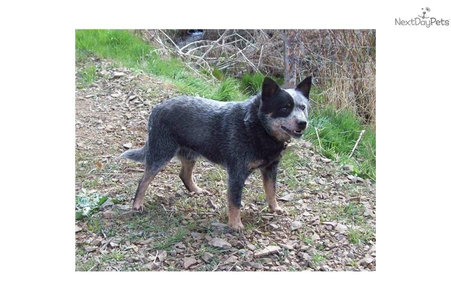miniature-queensland-blue-heeler-maledog-australian-cattle-dog-blue ...