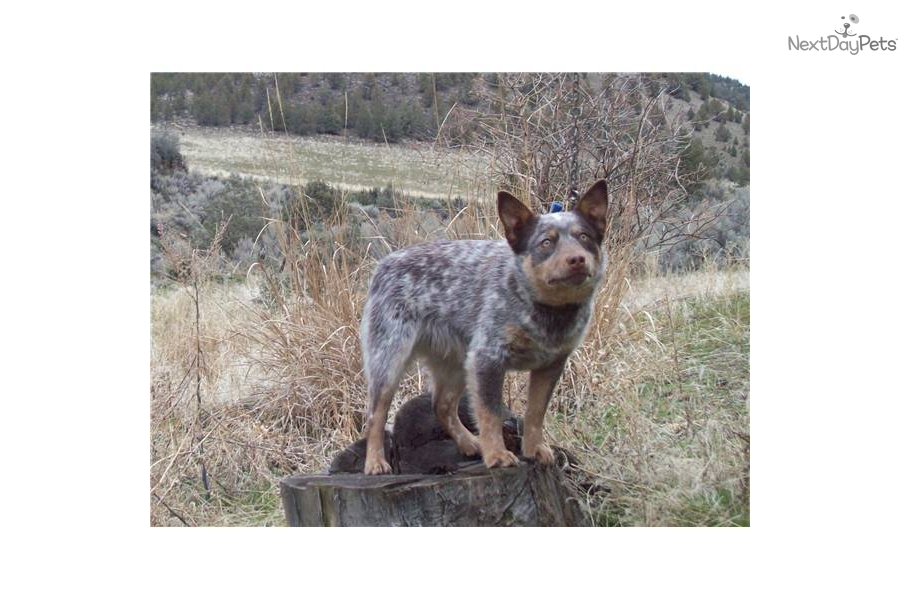 Australian Cattle Dog Blue Heeler Or Queensland Heeler Grown | Dog ...