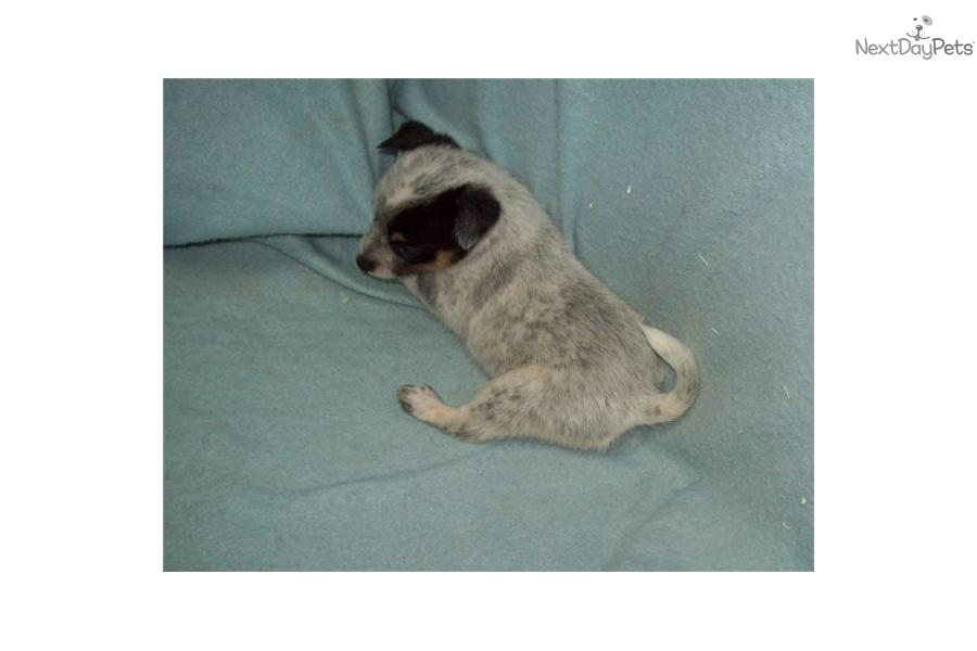 miniature-queensland-heeler-acddog-australian-cattle-dog-blue-heeler ...