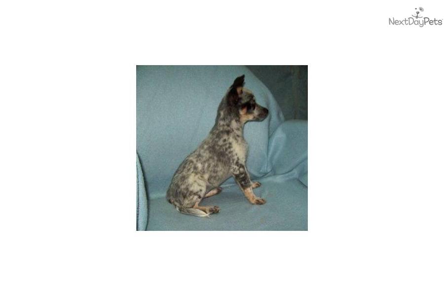 -queensland-heeler-acddog-australian-cattle-dog-blue-heeler-puppy ...