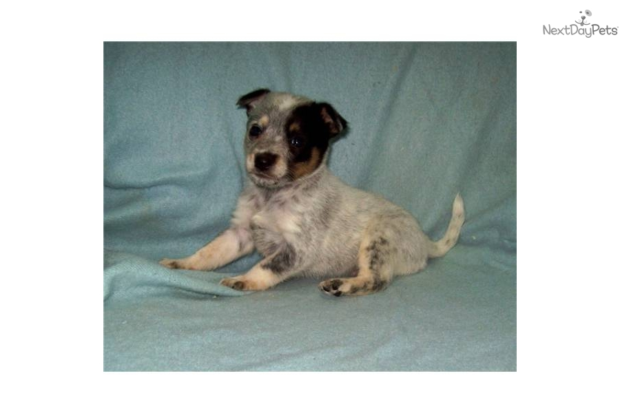 Cattle Dog Rescue Southern California