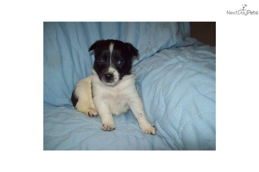 queensland-heeler-maledog-australian-cattle-dog-blue-heeler-puppy