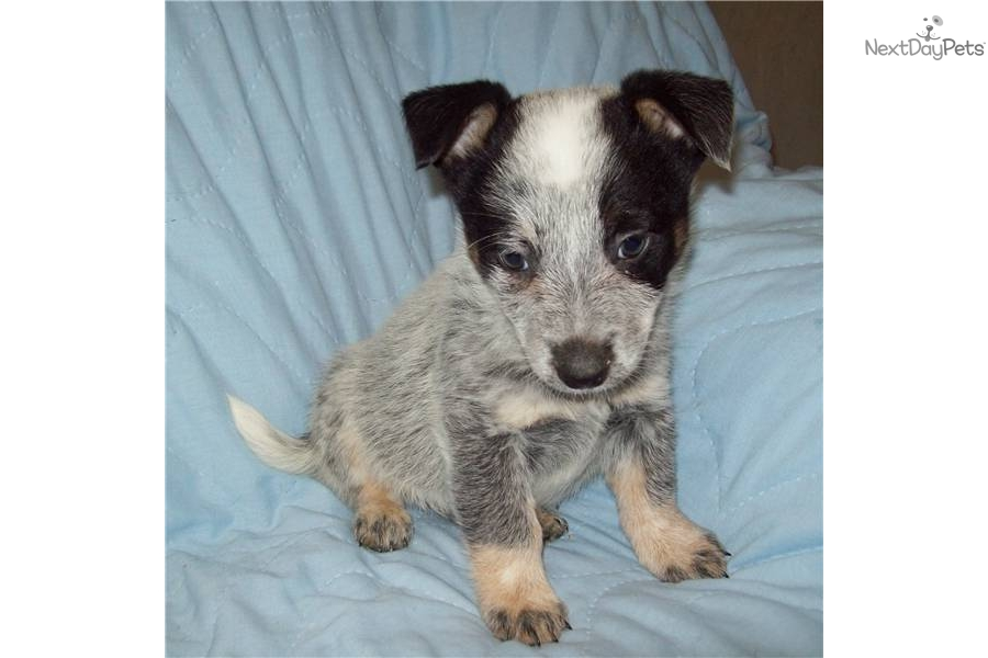 miniature-queensland-heeler-maledog-australian-cattle-dog-blue-heeler
