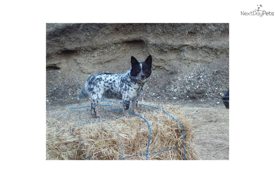 miniature queensland heeler maledog australian cattle dog blue heeler ...
