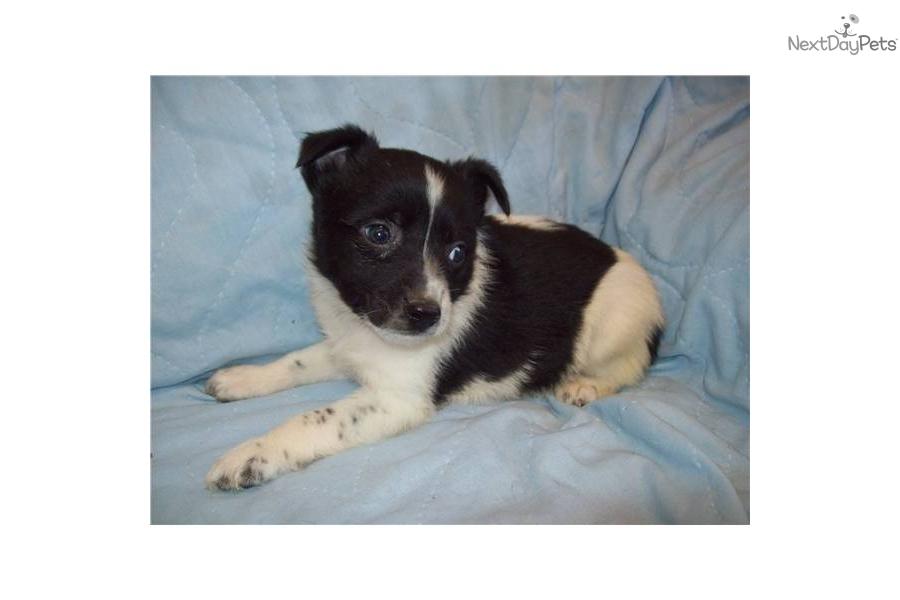 miniature-queensland-heeler-maledog-australian-cattle-dog-blue-heeler ...
