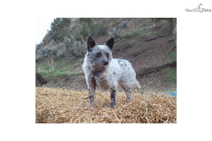 -heeleraustralian-cattle-dogdog-australian-cattle-dog-blue-heeler