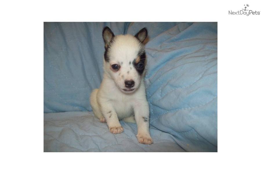 Mini Texas Heeler Cattle Dog   Dog Breeds Picture