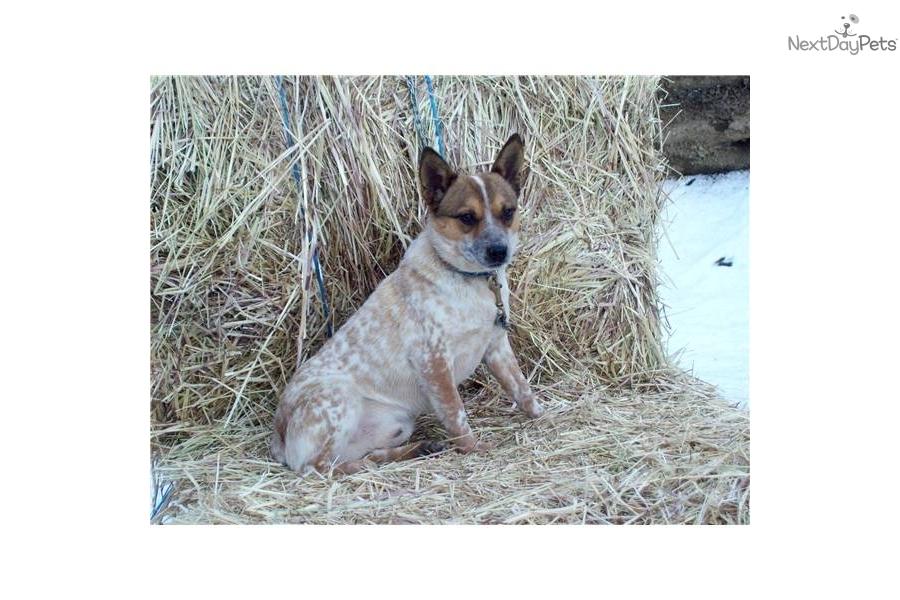 -queensland-red-heeler-male-solddog-australian-cattle-dog-blue-heeler
