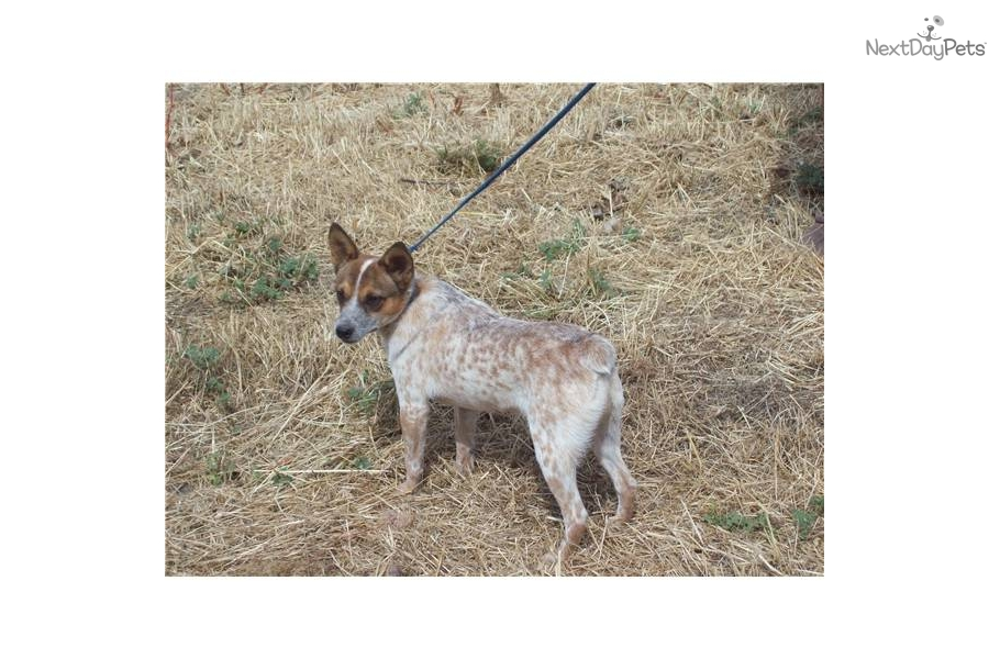 -queensland-red-heeler-male-solddog-australian-cattle-dog ...