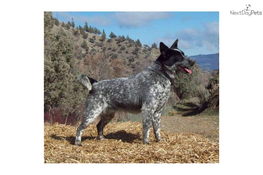 Miniature Blue Heeler Australian Cattle Dog Pictures to pin on ...